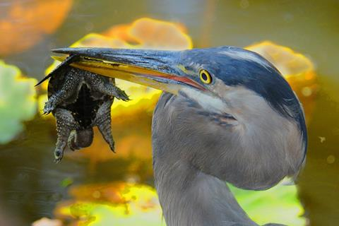 Great blue heron with a small turtle in its beak
