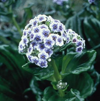 Chatham Island forget-me-not, Mangare Island, Chatham Islands. Photo credit: DOC