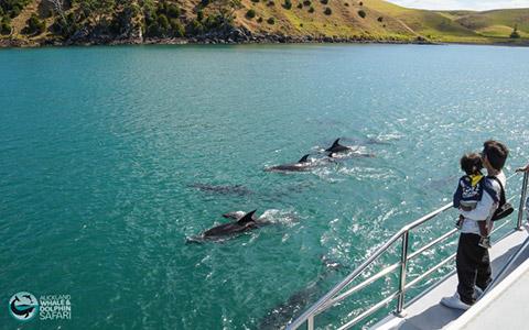 Bottlenose dolphin pod, near Motutapu Island.