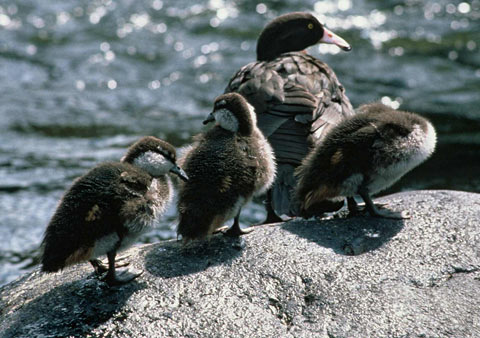 Whio adult and three ducklings.