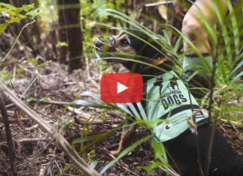 Video still: Conservation dog Woody