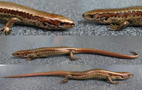 Chesterfield skink