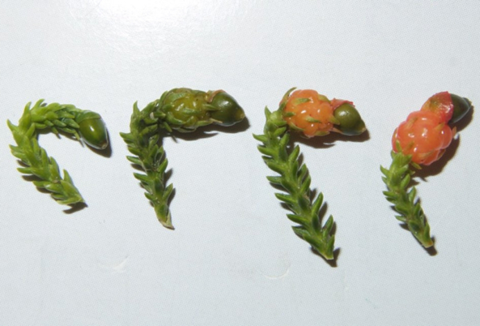 Stages of rimu fruit