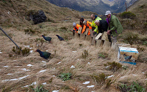 Takahe released in Murchison Mountains.
