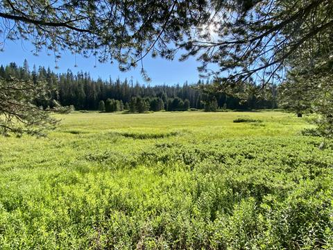 A beautiful Yosemite meadow defined by various, vibrant greens, pictured against a bright blue sky.