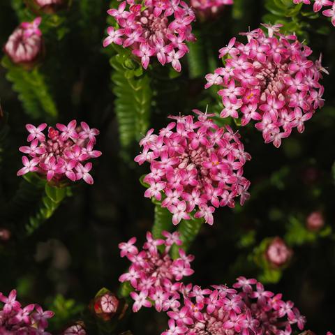 Pimelea ferruginea 'Pink Solitaire'