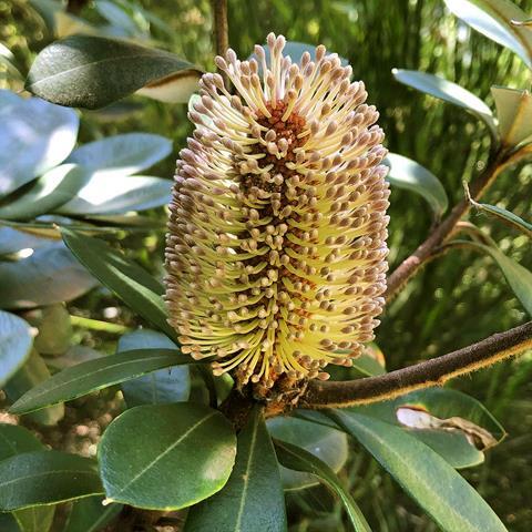 Grampians Banksia(Banksia saxicola)