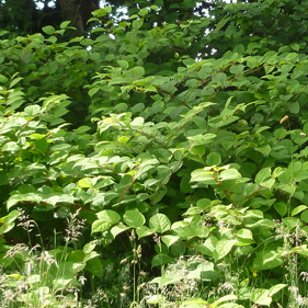 Image of knotweed, Cooke & Arkwright