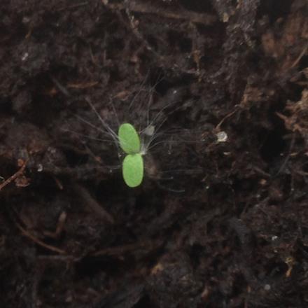 Guatemalan Coffee Seed