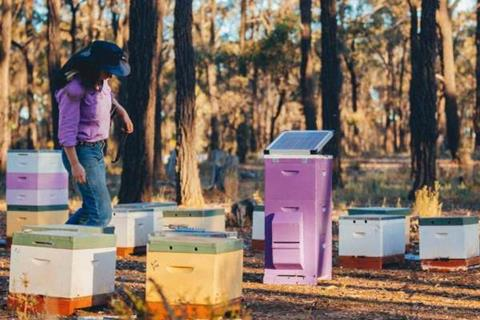 Bega cheese protects bees in Australia