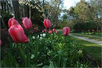 Tulips Along Cherry Drive