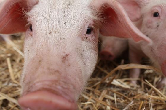pig producer webinars