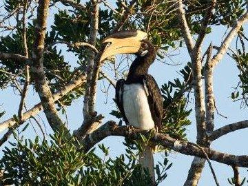 Malabar Pied Hornbill.  © Thimindu/ commons.wikimedia.org