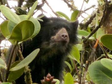 Spectacled Bear. © Fundación EcoMinga.