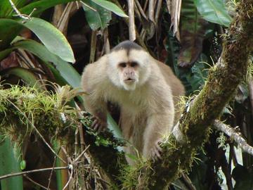 White-fronted Capuchin. © Bert Franco.