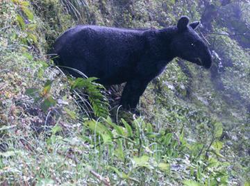 Mountain Tapir. © Juan Pablo Reyes
