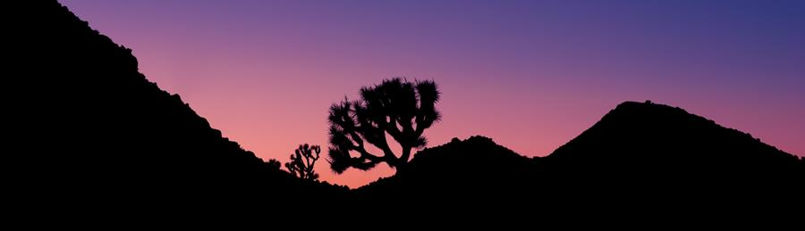 Joshua tree in purple sky