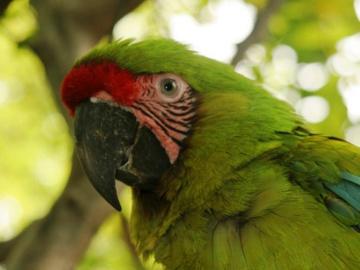 Great Green Macaw. © Fundación Pro-Bosque.
