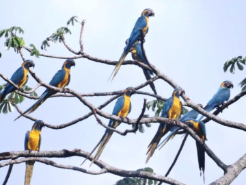 Blue-throated Macaws. © Tjalle Boorsma.