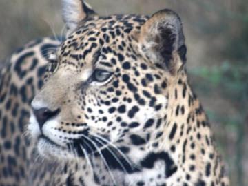 Jaguar in Paraguay. © Silvia Centron.