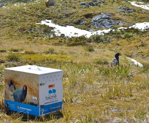 Recently released takahē getting his bearings in the wild. Photo by A. Clare