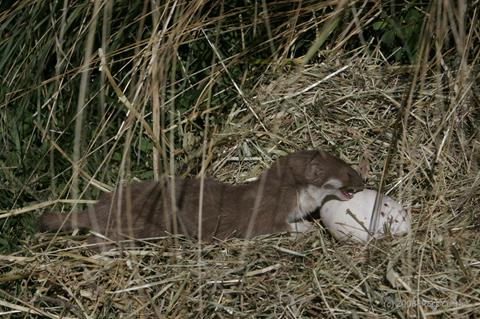 Stoat with takahē egg. Photo by R. Curtis